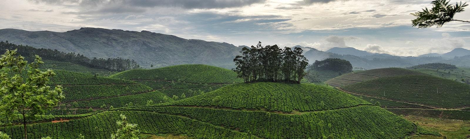 Китайская плантация чая