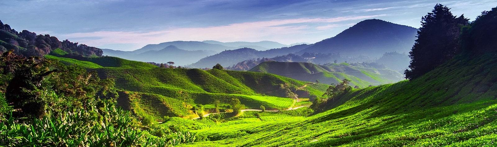 Чайная плантация улун