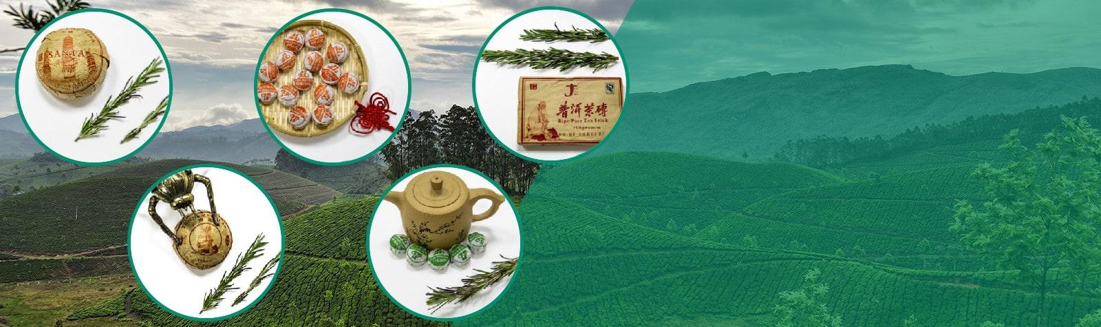 Чайная плантация зеленого чая, улун