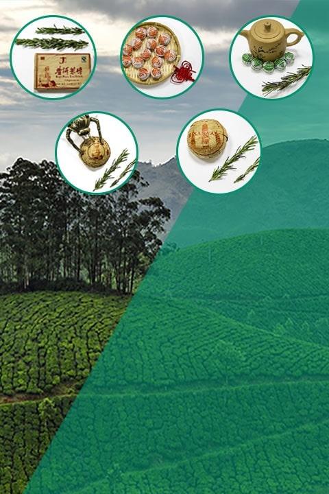 Чайная плантация черного чая