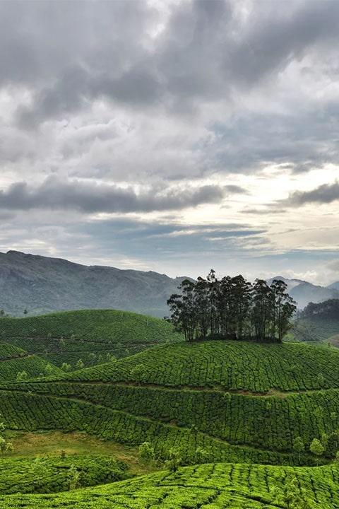 Чайная плантация пуэр