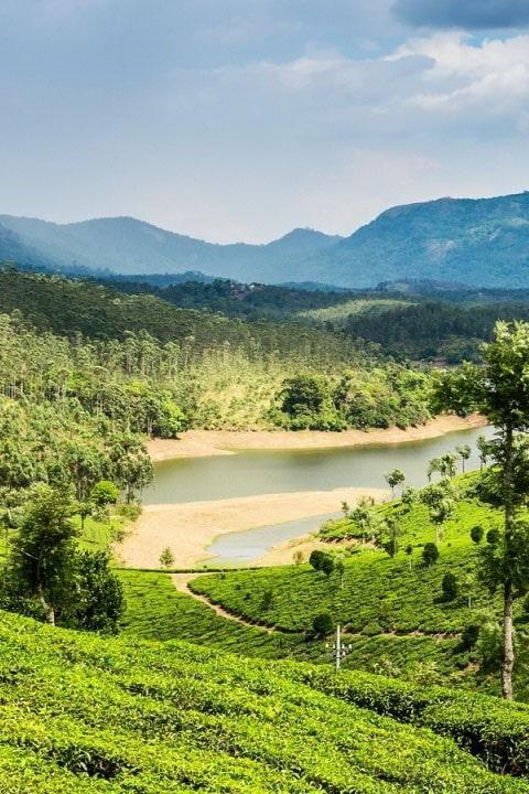 Чайная плантация около речки